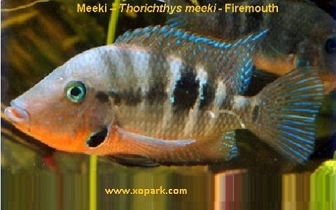 xopark1Meeki—Thorichthys-meeki—Firemouth