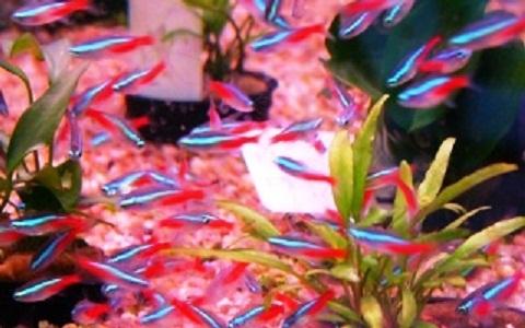 xopark1Neon-bleu—Paracheirodon-innesi—Neon-tetra