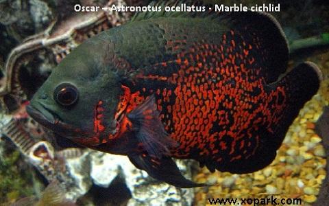 xopark1Oscar—Astronotus-ocellatus—Marble-cichlid