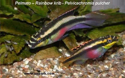 xopark1Pelmato—Rainbow-krib—Pelvicachromis-pulcher
