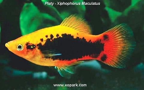 xopark1Platy—Xiphophorus-Maculatus—Wagtail-Platy