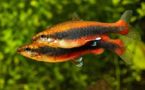 xopark1Poisson-crayon-dore—Nannostomus-anomalus—Golden-pencilfish