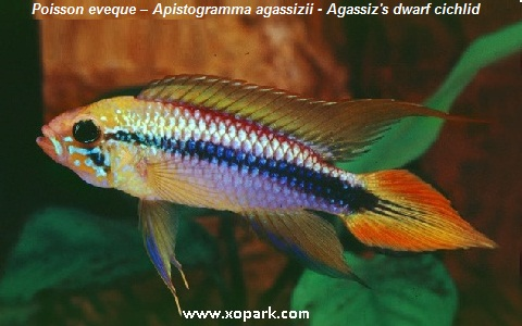 xopark1Poisson-eveque—Apistogramma-agassizii—Agassizs-dwarf-cichlid