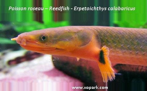 Poisson roseau -Anguille Africaine Erpetoichthys calabaricus