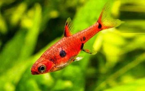 xopark1Rasbora-nain—Boraras maculatus—Dwarf-rasbora