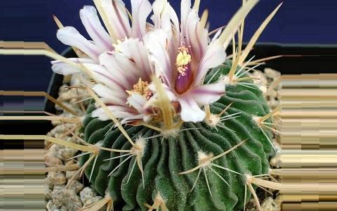 xopark1Stenocactus-hastatus