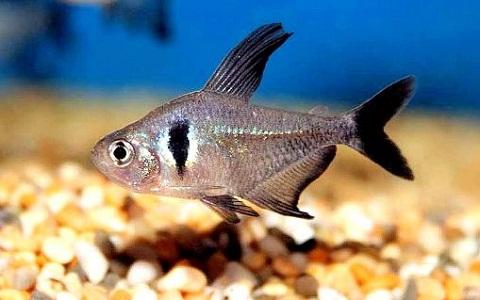 xopark1Tetra-fantome—Hyphessobrycon-megalopterus—Black-phantom-tetra