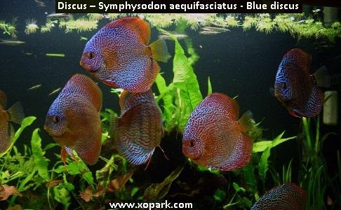 xopark20Discus—Symphysodon-aequifasciatus—Blue-discus