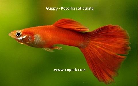 xopark20Guppy—Poecilia-reticulata—Million-fish