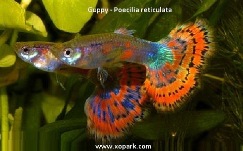 xopark21Guppy—Poecilia-reticulata—Million-fish