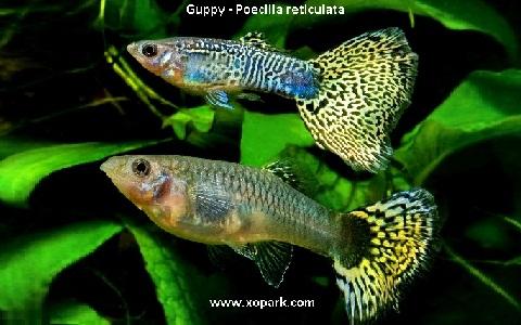 xopark22Guppy—Poecilia-reticulata—Million-fish
