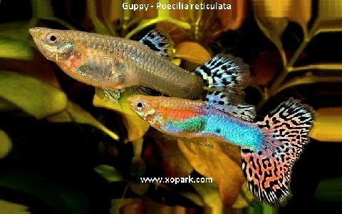 xopark23Guppy—Poecilia-reticulata—Million-fish
