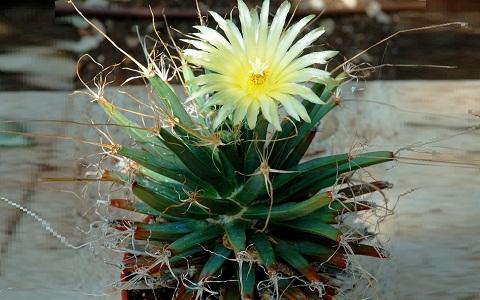 xopark2Agave-cactus—Prism-cactus—Leuchtenbergia-principis