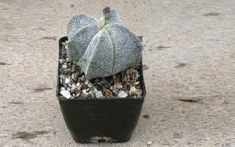 xopark2Bonnet-d_Evêque—Astrophytum-myriostigma—Bishop_s-Cap-Cactus