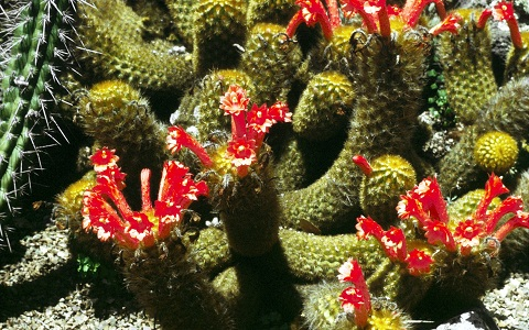 xopark2Cleistocactus-icosagonus