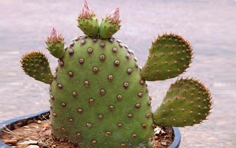 xopark2Consolea-moniliformis—Cactus-ferox—Nopalea-moniliformis