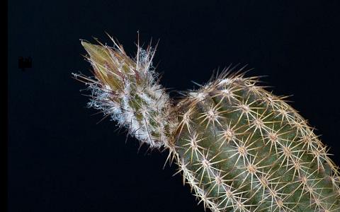 xopark2Echinocereus-pamanesiorum
