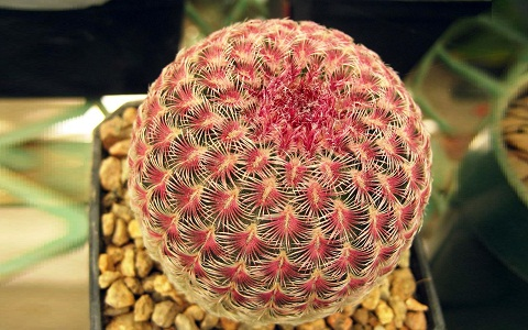 xopark2Echinocereus-pectinatus