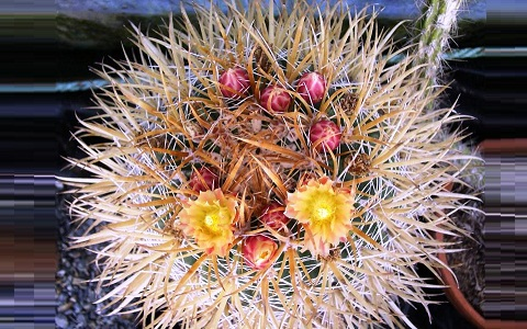 xopark2Ferocactus-chrysacanthus