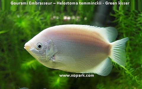 xopark2Gourami-Embrasseur—Helostoma-temminckii—Green-kisser