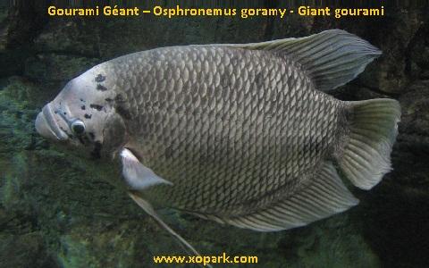 xopark2Gourami-Géant—Osphronemus-goramy—Giant-gourami