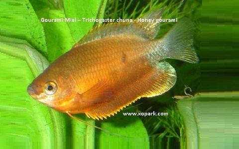 xopark2Gourami-Miel—Trichogaster-chuna—Honey-gourami