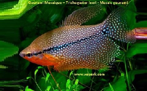 xopark2Gourami-Mosaique—Trichogaster-leeri—Mosaic-gourami