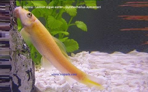 xopark2Gyrino—Lemon-algae-eater—Gyrinocheilus-aymonieri