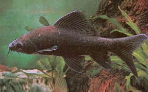 xopark2Labéo-noir—Chrysophekadion-polyporos—Black-sharkminnow
