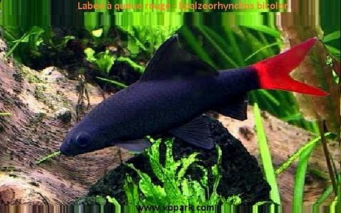 xopark2Labeo-à-queue-rouge—Epalzeorhynchos-bicolor—Bicolor-labeo