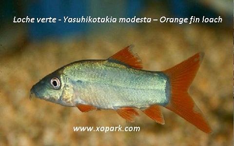 xopark2Loche verte—Yasuhikotakia-modesta—Orange-fin-loach