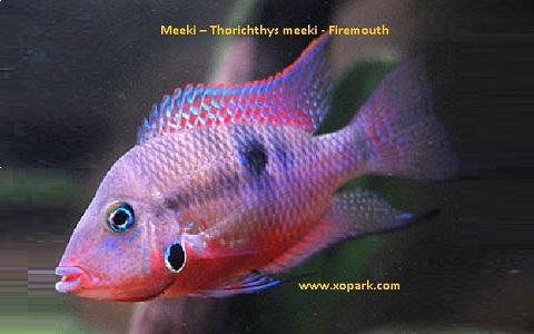 xopark2Meeki—Thorichthys-meeki—Firemouth