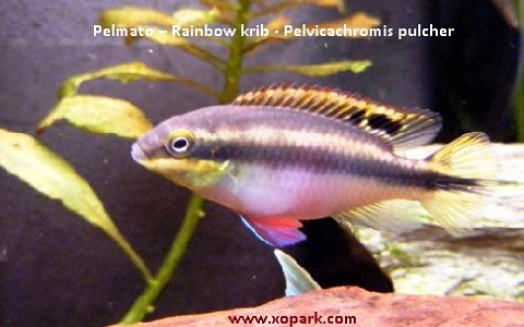 xopark2Pelmato—Rainbow-krib—Pelvicachromis-pulcher