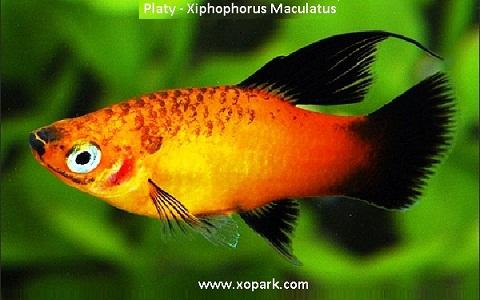 xopark2Platy—Xiphophorus-Maculatus—Wagtail-Platy