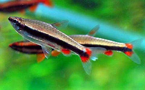 xopark2Poisson-crayon-dore—Nannostomus-anomalus—Golden-pencilfish