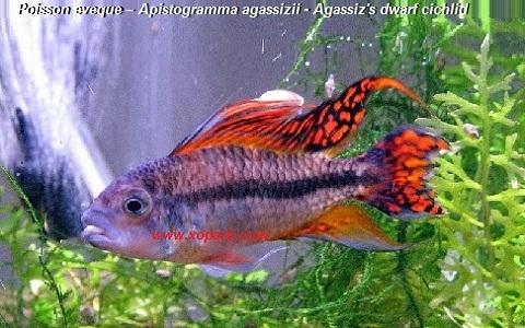 xopark2Poisson-eveque—Apistogramma-agassizii—Agassizs-dwarf-cichlid