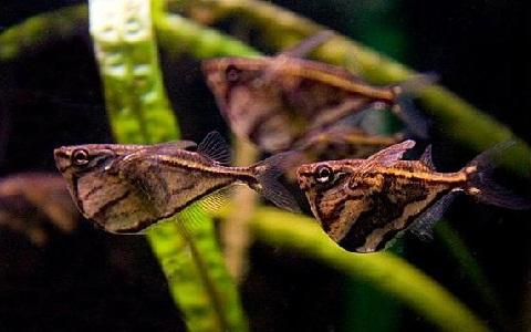 xopark2Poisson-hachette—Carnegiella-strigata-fasciata—Marbled-hatchetfish