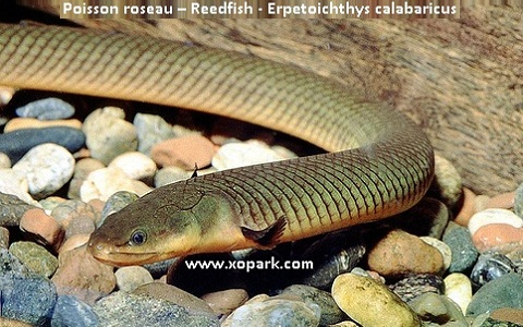 xopark2Poisson-roseau—Reedfish—Erpetoichthys-calabaricus