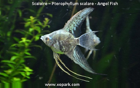 xopark2Scalaire—Pterophyllum-scalare—Angel-Fish