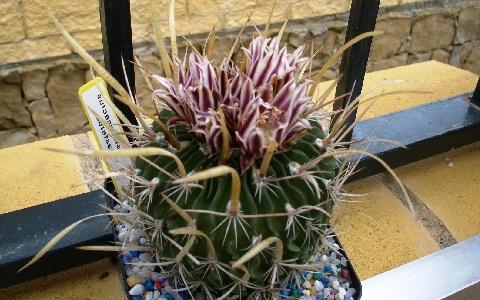 xopark2Stenocactus-hastatus