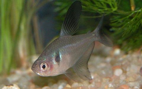 xopark2Tetra-fantome—Hyphessobrycon-megalopterus—Black-phantom-tetra