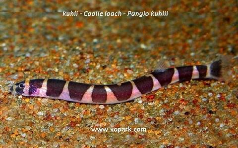 xopark2kuhli—Coolie-loach—Pangio-kuhlii
