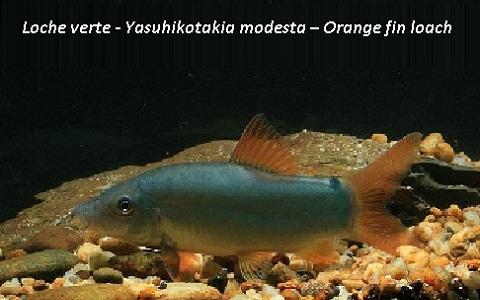xopark33Loche verte—Yasuhikotakia-modesta—Orange-fin-loach