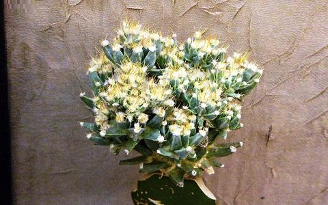 xopark3Agave-cactus—Prism-cactus—Leuchtenbergia-principis