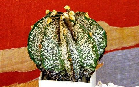 xopark3Astrophytum-capricorne—Goat_s-horn-cactus