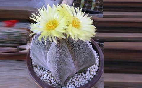 xopark3Bonnet-d_Evêque—Astrophytum-myriostigma—Bishop_s-Cap-Cactus