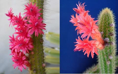 xopark3Cleistocactus-samaipatanus1