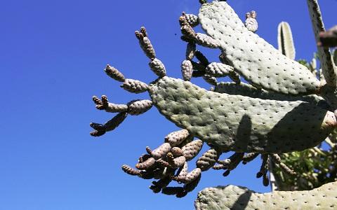 xopark3Consolea-moniliformis—Cactus-ferox—Nopalea-moniliformis