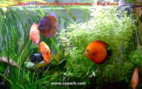 xopark3Discus—Symphysodon-aequifasciatus—Blue-discus