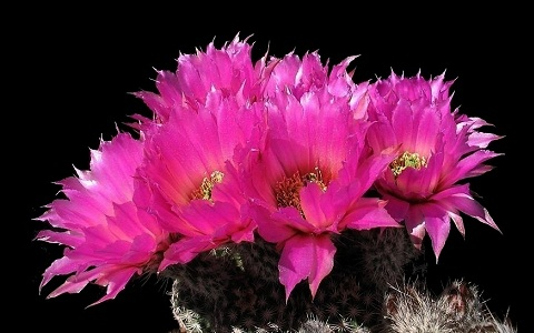 xopark3Echinocereus-pamanesiorum